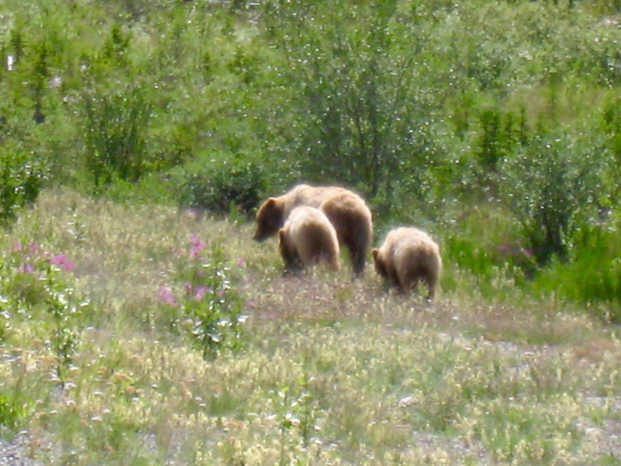 Grizzly bear and two cubs