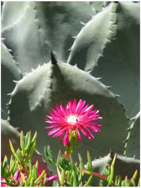 Flowers and cacti in the Cambria Pines Lodge Gardens in Cambria on the Pacific Coast Highway in California. Photo (c) Donna Dailey from https://www.pacific-coast-highway-travel.com/Cambria-Lodging.html