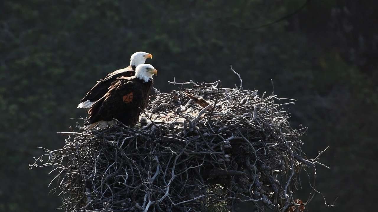 Bald Eagles in Channel Islands National Park