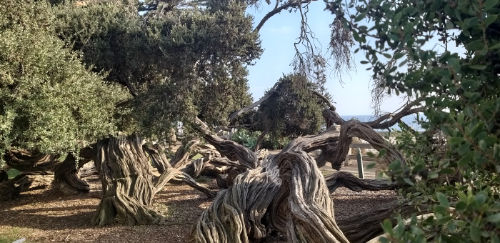 Gnarled trees in Santa Monica, California