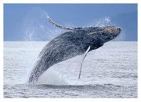 Humpback Whale, http://www.pacific-coast-highway-travel.com/Pacific-Coast-Highway-Wildlife.html