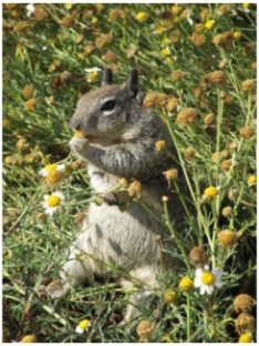Ground squirrel at La Jolla, California, photo (c) Donna Dailey, http://www.pacific-coast-highway-travel.com/Pacific-Coast-Highway-Wildlife.html