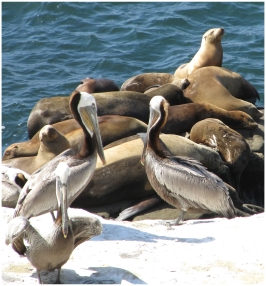 Seals and pelicans in La Jolla, California, photo (c) Donna Dailey