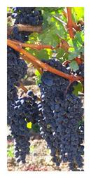 Napa Valley Grapes, photo by JR Goleno, www.sxc.hu