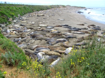 Piedras Blancas Elephant Seals Beach near San Simeon, California, photo (c) Donna Dailey, pinned from http://www.pacific-coast-highway-travel.com/Piedras-Blancas-Elephant-Seals-Beach.html