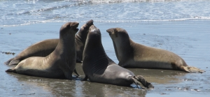 Piedras Blancas Elephant Seals Beach near San Simeon, California, photo (c) Donna Dailey, pinned from https://www.pacific-coast-highway-travel.com/Piedras-Blancas-Elephant-Seals-Beach.html