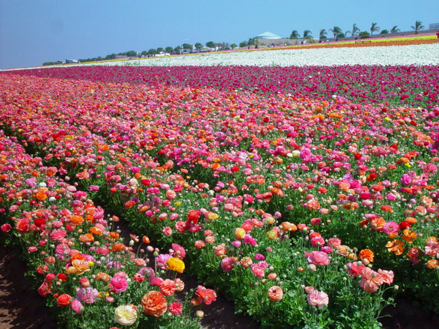 Colorful flower fields in Carlsbad, California