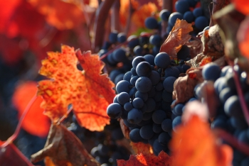Grapes and vines in Napa Valley, California, from http://www.pacific-coast-highway-travel.com/Napa-Valley-Facts-and-Figures.html