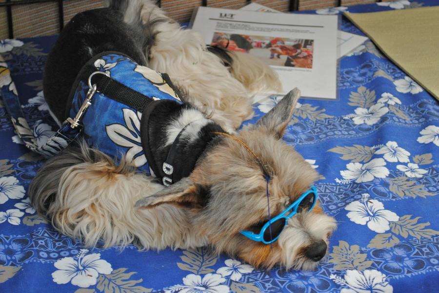 Dog wearing sunglasses in Carlsbad, California