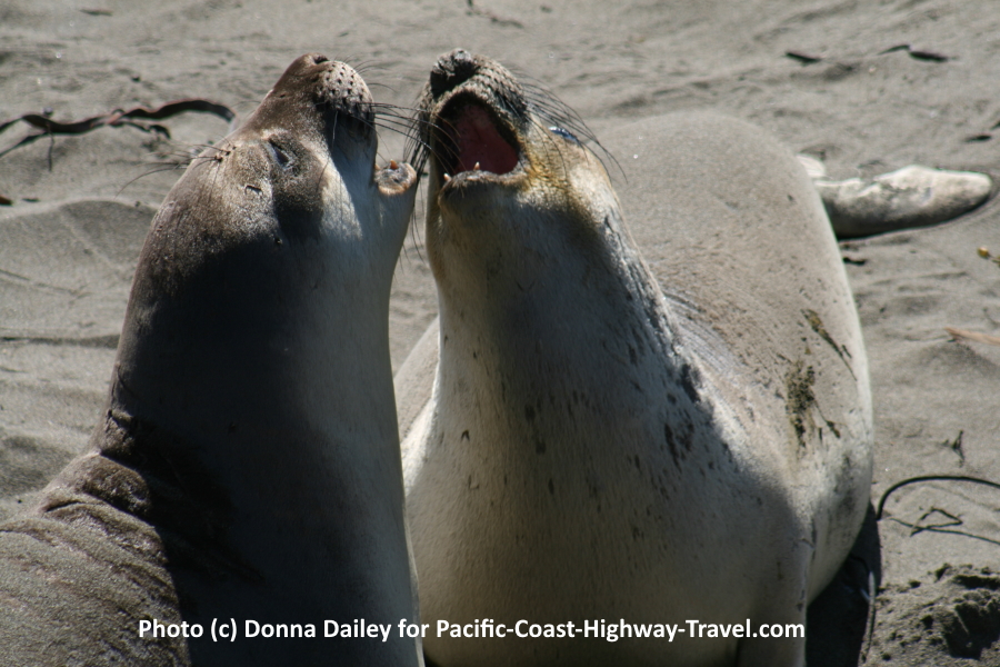 Elephant Seals Beach California