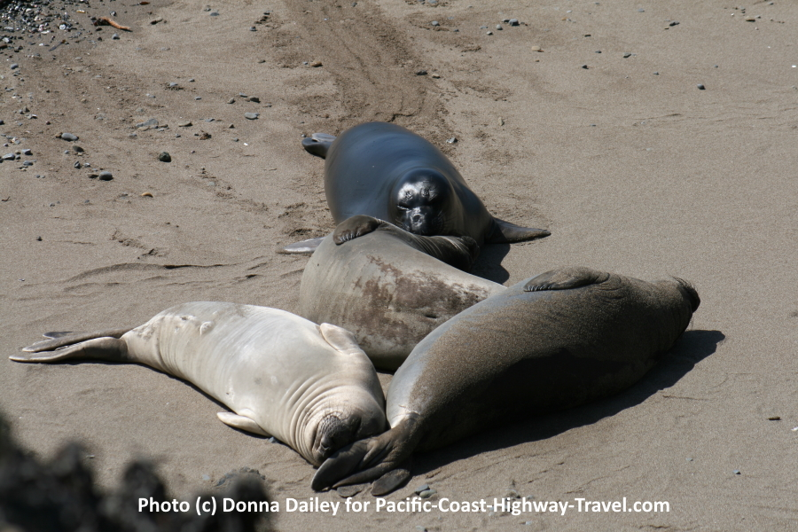 Elephant Seals Beach in California