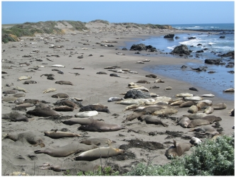 Elephant Seals at Piedras Blancas Beach near Hearst Castle, California, photo (c) Donna Dailey, https://www.pacific-coast-highway-travel.com/Pacific-Coast-Highway-Wildlife.html