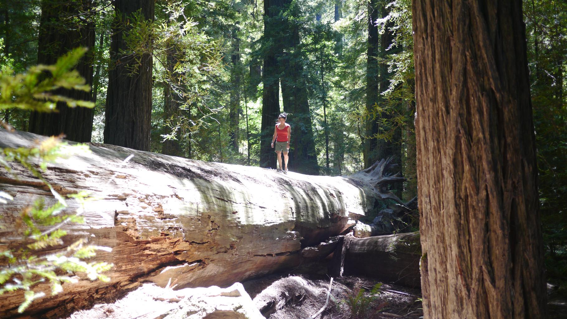 Giant redwood forests in California