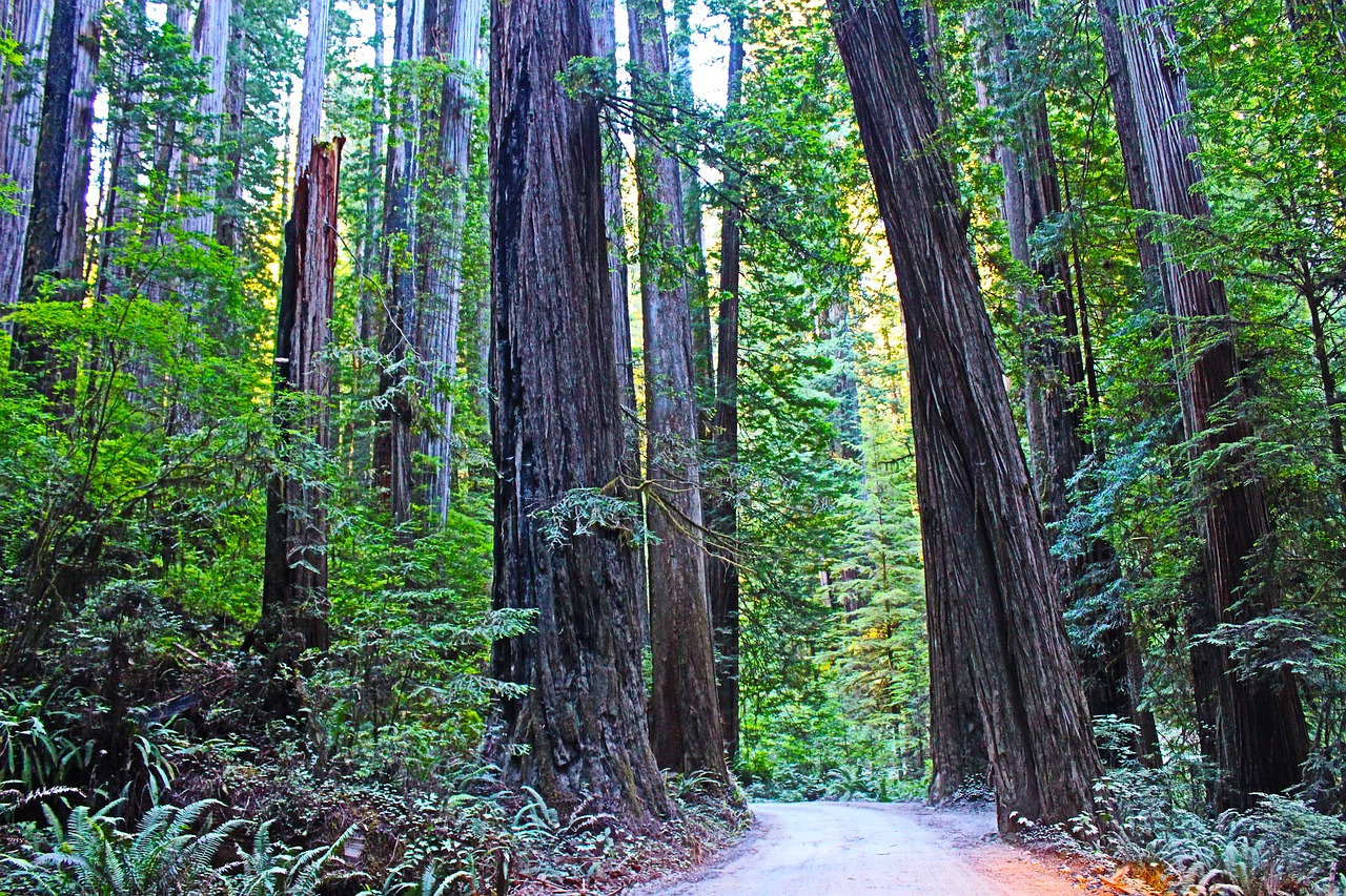 Redwood trees in Redwood National Park in California
