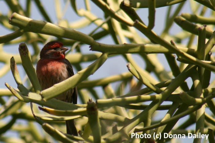 A finch in the Cactus Garden in Balboa Park, San Diego, California