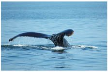 Tail of a humpback whale in Monterey Bay, California