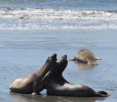 Piedras Blancas Elephant Seals Beach near San Simeon, California, photo (c) Donna Dailey, pinned from http://www.pacific-coast-highway-travel.com/Piedras-Blancas-Elephant-Seals-Beach.html