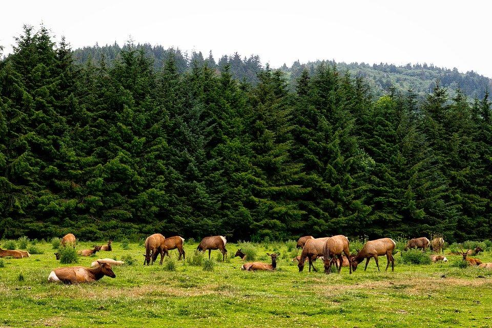 Herd of Roosevelt Elk