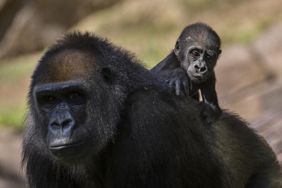 San Diego Zoo Safari Park Gorilla and Baby