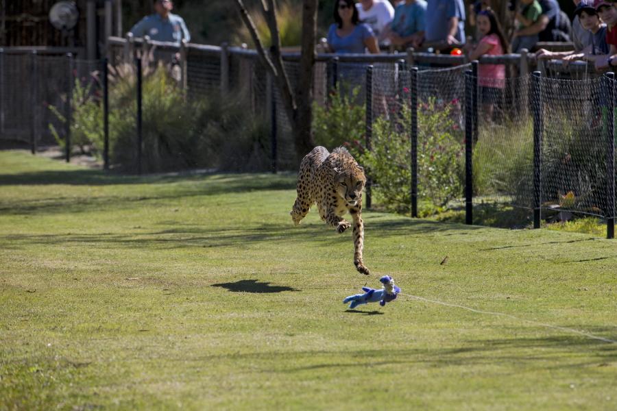 On the Sun Up Cheetah Safari at the San Diego Zoo Safari Park