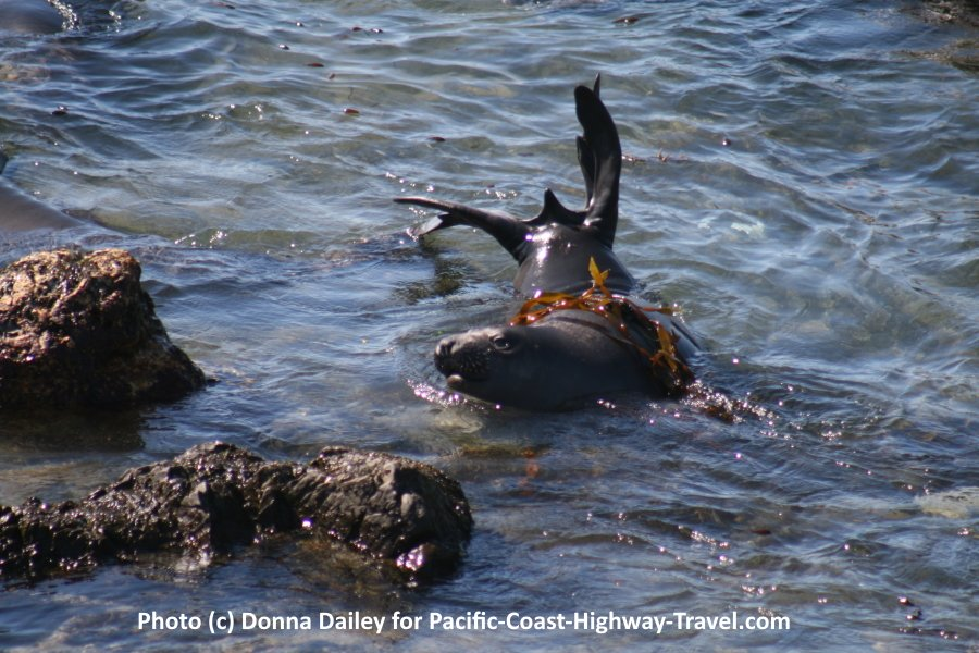 Elephant Seals Beach in California