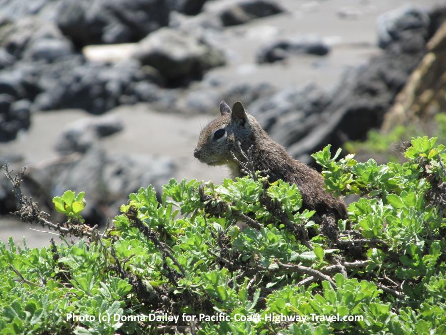 Ground squirrel at Elephant Seals Beach California