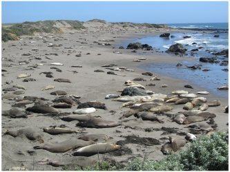 Elephant Seals at Piedras Blancas Beach near Hearst Castle, California, photo (c) Donna Dailey, http://www.pacific-coast-highway-travel.com/Pacific-Coast-Highway-Wildlife.html