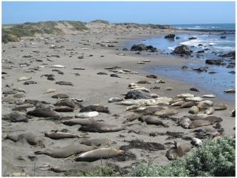 Elephant Seals at Piedras Blancas Beach near Hearst Castle, California, photo (c) Donna Dailey, http://www.pacific-coast-highway-travel.com/Pacific-Coast-Highway-Wildlife.html